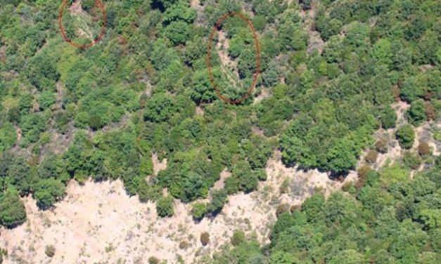 Tre piantagioni di canapa indiana scovate tra la fitta vegetazione, individuate dai finanzieri ben 800 piante – Zoom24