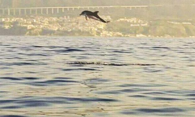 Giochi e salti tra le onde, i delfini danno spettacolo a Pizzo