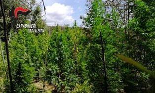 Coltivazioni di canapa indiana ad alta quota nel Vibonese, scoperte altre 5 piantagioni – Zoom24