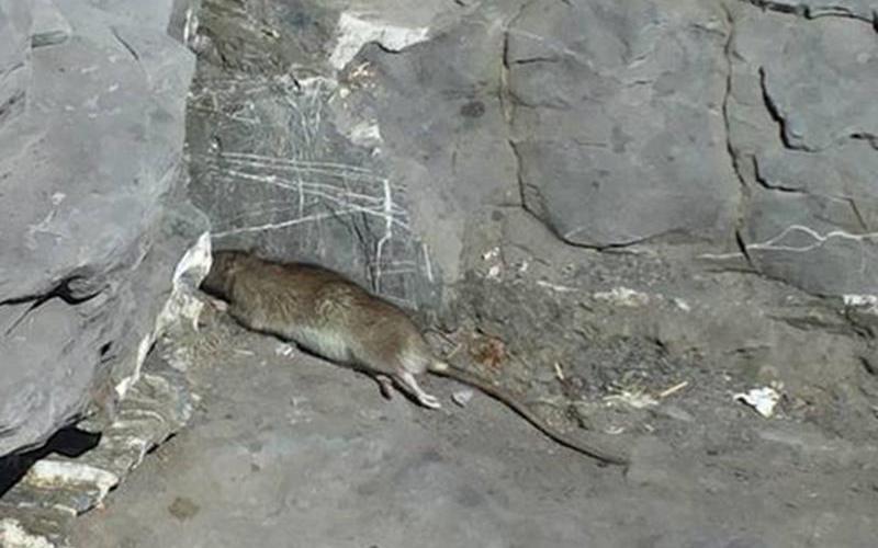 Piscopio invasa dai topi, disagi a non finire