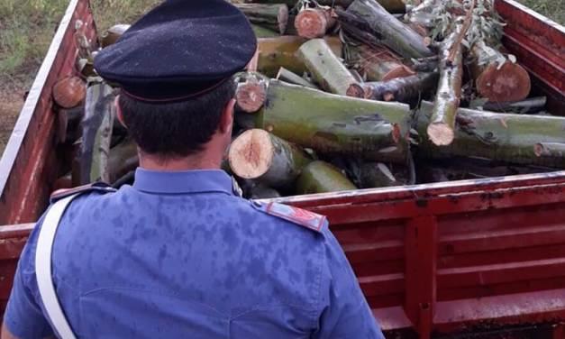 Tagliavano alberi nella pineta di Pizzo, tre arresti