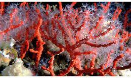 Tranquillo: Il Corallo a Pizzo.