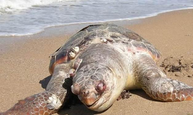 Tartaruga morta sull'arenile di Briatico, ordinata la rimozione