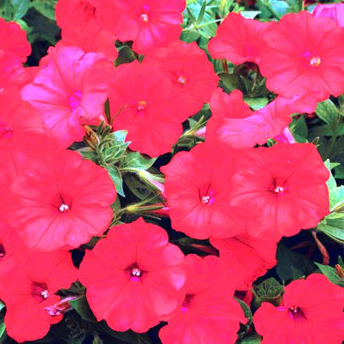 Petunia Red Flowers Seeds