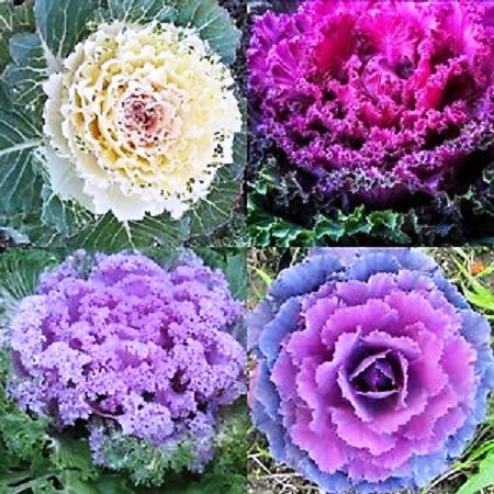 Ornamental Cabbage & Kale Flowers Seeds