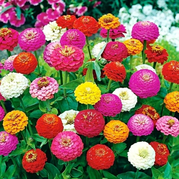 Zinnia Liliput Mix Flowers Seeds