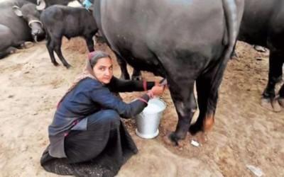 buffloa milk is