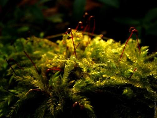 Brachytécie à soie raide (Brachythecium rutabulum)