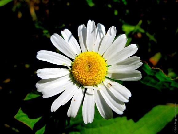 fleur pâquerette