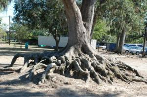 Picture of Tree Roots