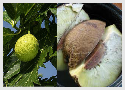 Breadfruit on tree and open to show nut