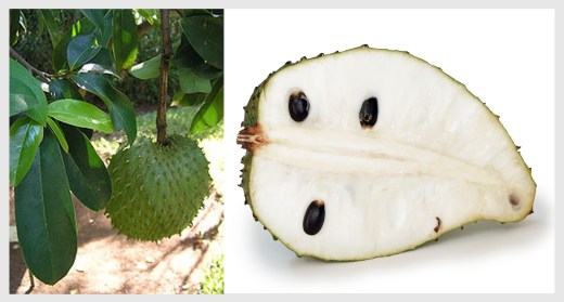Soursop on tree and opened