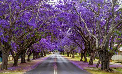 Flowering trees Jacaranda South Africa