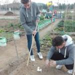 A l'hort plantem faves, pèsols i alls