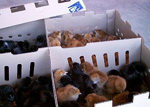FAQ: Baby Chick Care