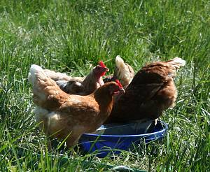 FAQ: Free Range and Yarding for Chickens