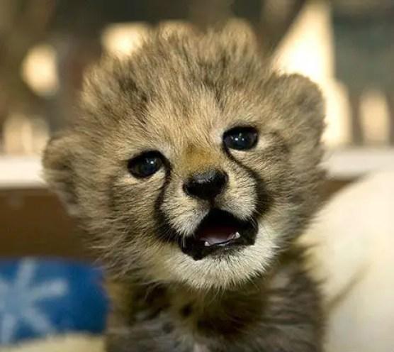 Resultado de imagen de guepardo bebe
