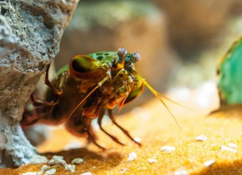 mantis-camaron-curioso-pata-velocidad-planeta-curioso