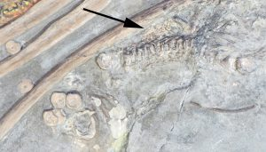 Life After Death Largest Discovered Ichthyosaurus Preserves A Fossilised Embryo 2, Planeta Incógnito