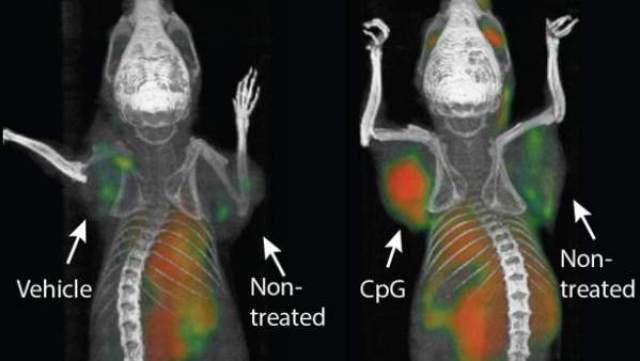 Una vacuna cura distintos tipos de tumores en ratones.Efecto de la inmunoterapia en los animales. SAGIV-BARFI ET AL / SCIENCE TRANSLATIONAL MEDICINE