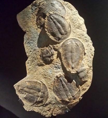 Trilobites de 540 millions d'années