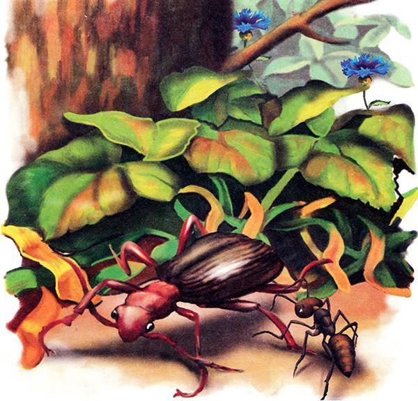 муравей и Жужелица