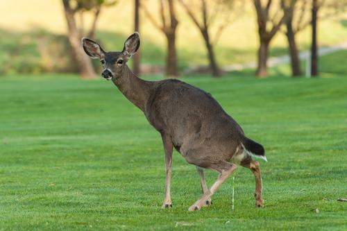 how do deer pee
