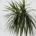 Dracaena plante toxique chat planete animale seignosse