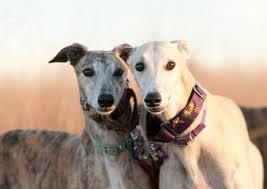 le Greyhound chien