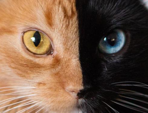 gataquimera_chat-chimère