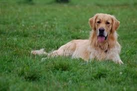 golden retriever chien de race Planète Animale