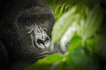 Gorilla in Virunga National Park