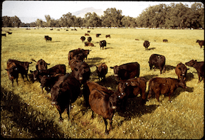 Angus Cattle Ranch