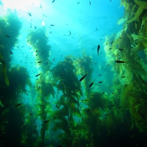 Catalina kelp forest