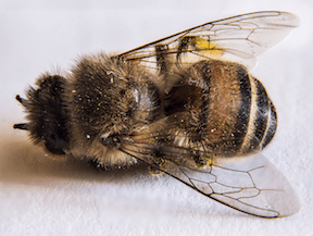 Canadian Beekeepers Sue Makers of Neonicotinoid Pesticides - Planet