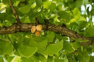 Fleshy seeds of female ginkgo