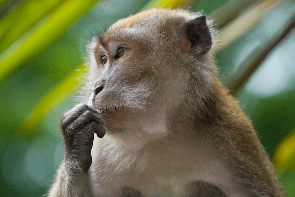 A crab-eating macaque