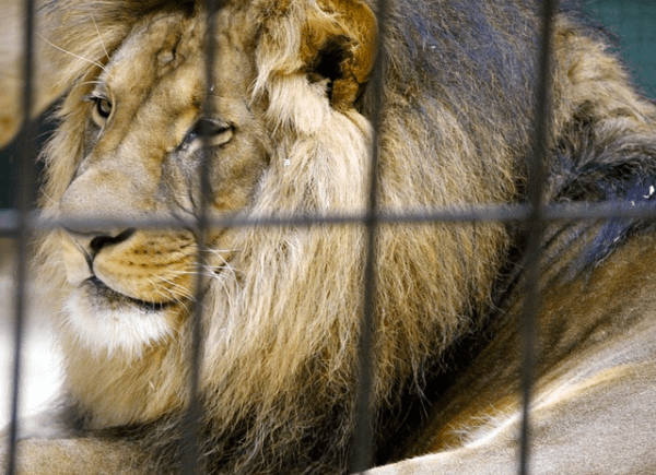 Lion in cage. (Photo: Pixabay)