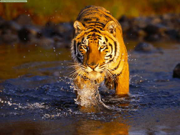 A Bengal tiger in the Sundarbans (Image: Creative Commons)