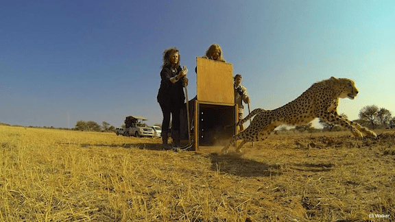 A cheetah being reintroduced to the wild (Source: CCF)