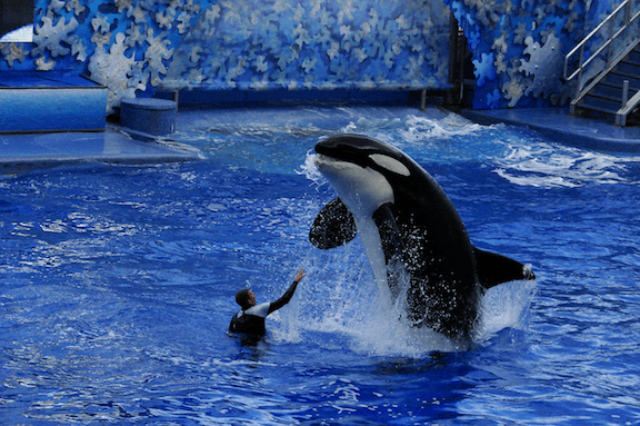Killer whale and trainer during a Shamu performance at Seaworld in Orlando, Florida. (Photo Credit: David R. Tribble)