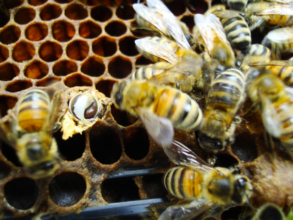 Bees in hive (Image: Flickr)