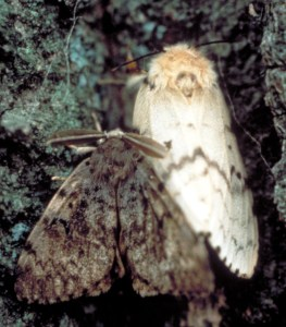 Gypsy Moths (Tim Tigner, VA Department of Forestry, Bugwood.org)