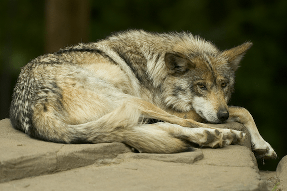 Mexican Gray Wolf (Source: WikiMedia Commons)