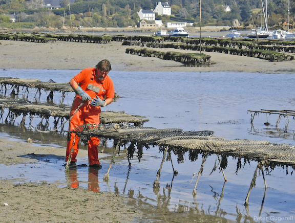 Oysterman examining oyster cages in  Riec-sur-Belon, France. (Image Credit: Peter Gugerell)