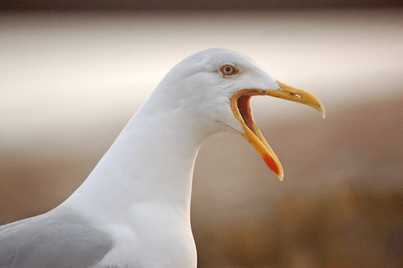 Seagull (Image Credit: Mari Buckley)