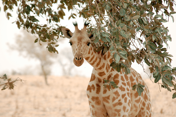 World Giraffe Day How Many Species Of Giraffe Are There Planet
