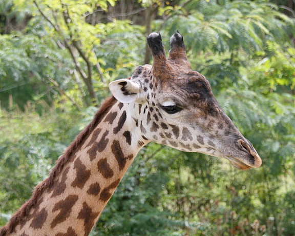 Masai giraffe in the Cincinnati Zoo and Botanical Garden. (Image Credit: Greg Hume)