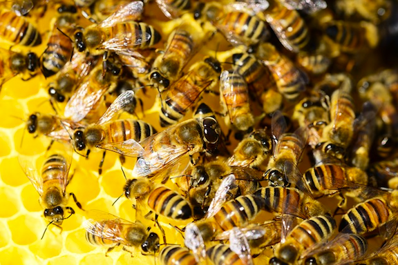 Honeybees (Image Credit: Pixabay)