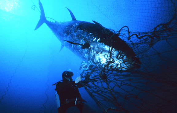Atlantic bluefin tuna (Thunnus thynnus) ensnared near the mouth of a fish trap. Favignana, Sicily, Italy. (Image Credit: Danilo Cedrone / United Nations Food and Agriculture Organization)